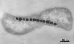 燕子长途迁徙上千公里为啥还能不迷路?它们体内的微生物在导航