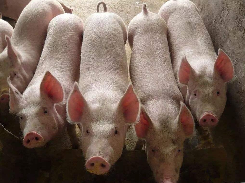 养猪界的两大千亿首富:一个身价1050亿,另一个身价破2千亿