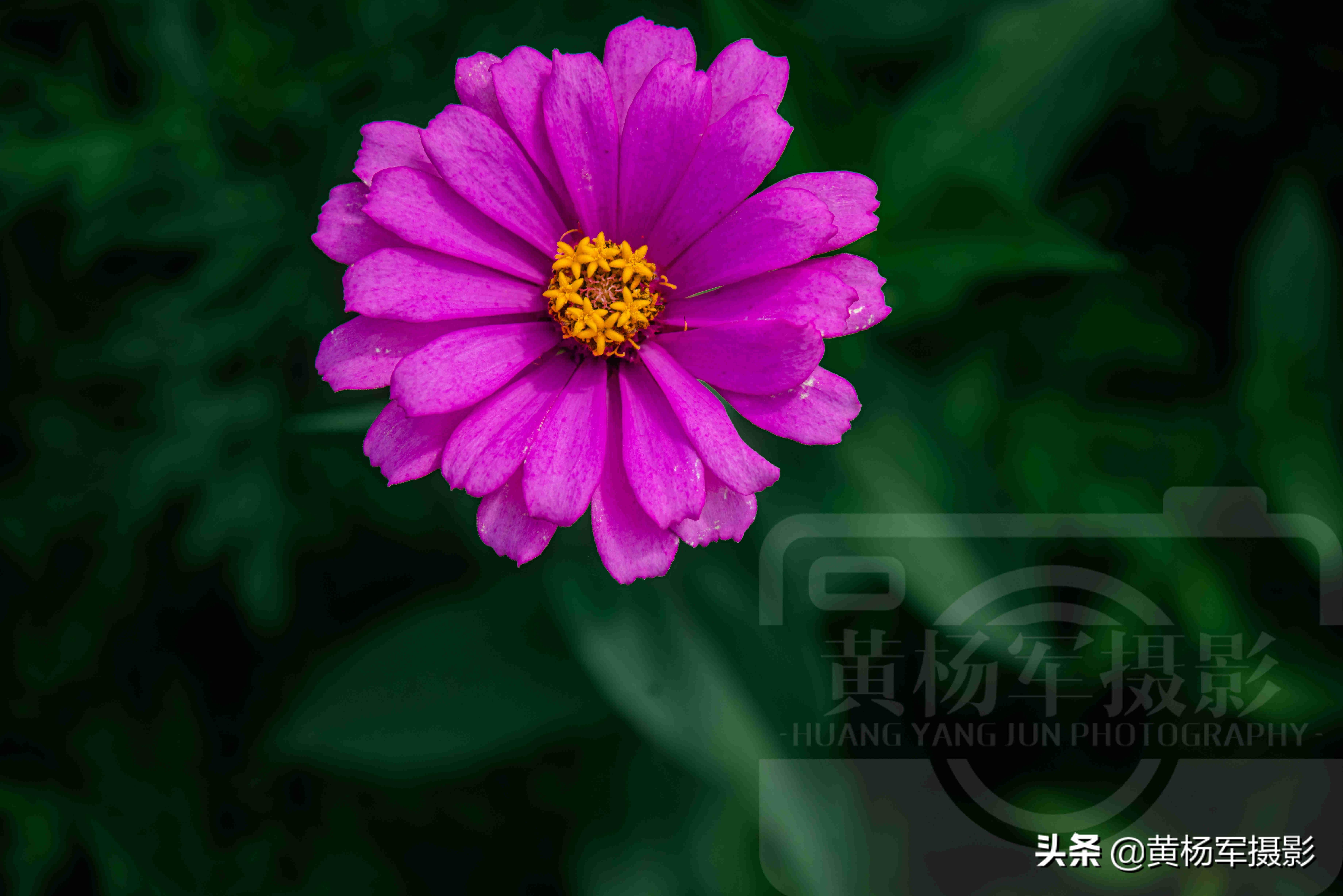 盛开的菊花像什么-盛开的菊花的描写