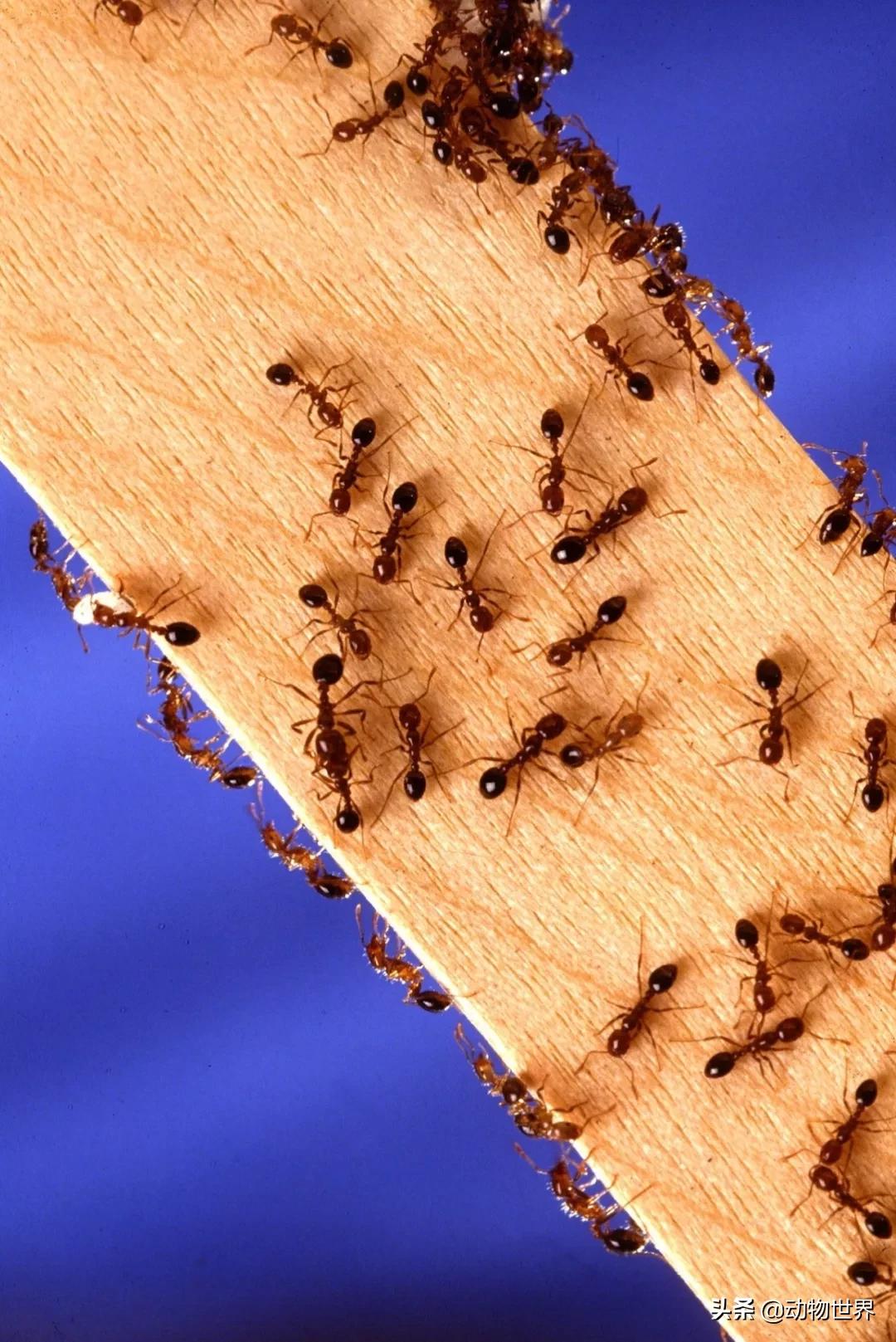 蚂蚁的样子描写-蚂蚁的特点和生活特征和外形