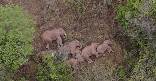 云南离群独象掉队12公里-象群返回玉溪的原因