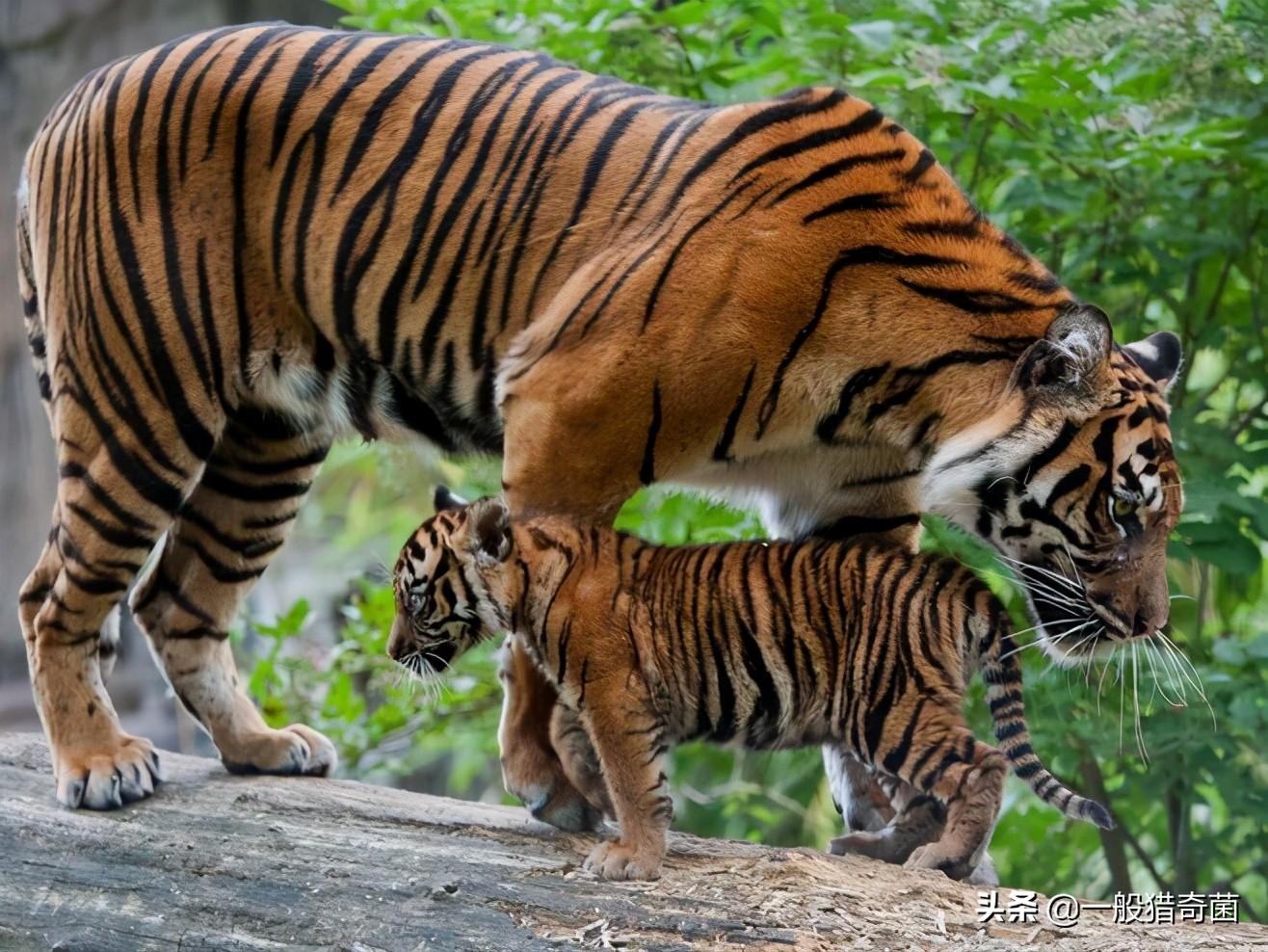 全国多地频现大型食肉动物-大型食肉动物排行榜