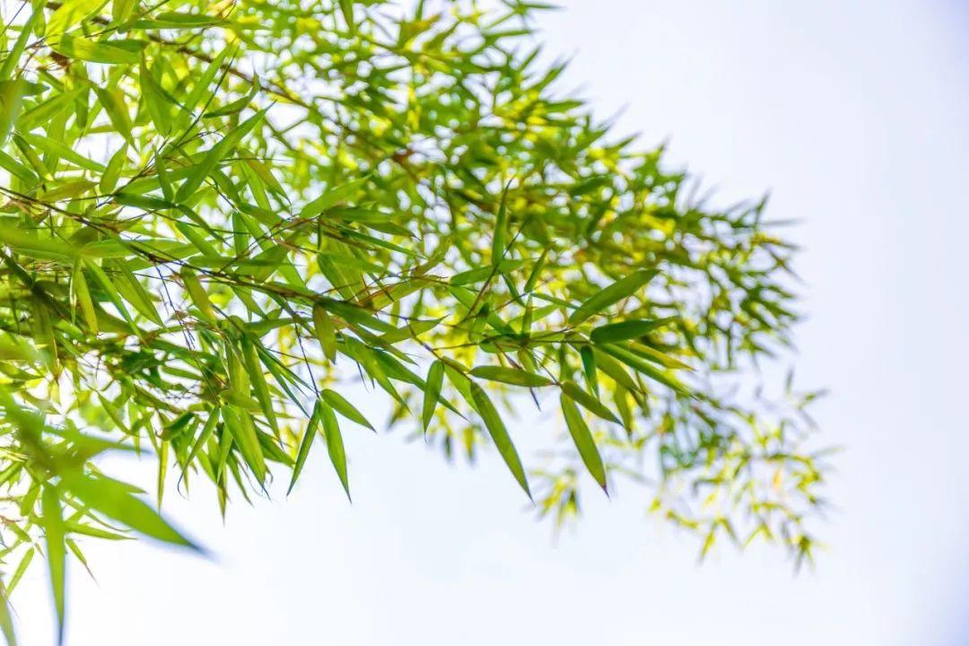 描写竹子的优美句子-赞美竹子的古诗词大全