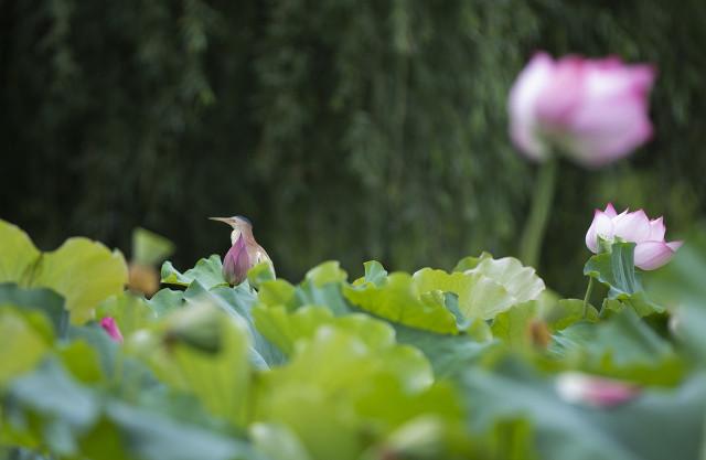 关于莲花的古诗句有哪些-描写荷花的4首唯美古诗词