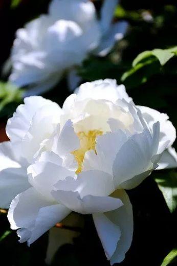 描写牡丹花的优美句子-赞美牡丹花的诗词赏析