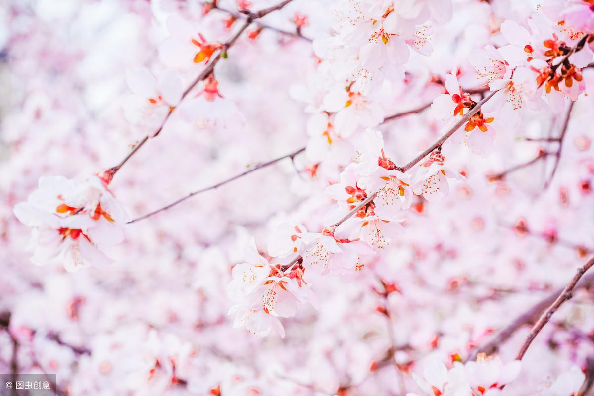 描写樱花的优美句子-赞美樱花美景的古诗词