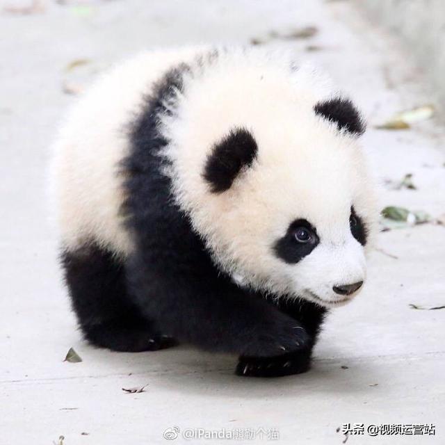 形容熊猫的句子有哪些-摘抄熊猫的好词好句