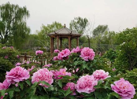描写牡丹花的优美句子-分享赞美牡丹的佳句