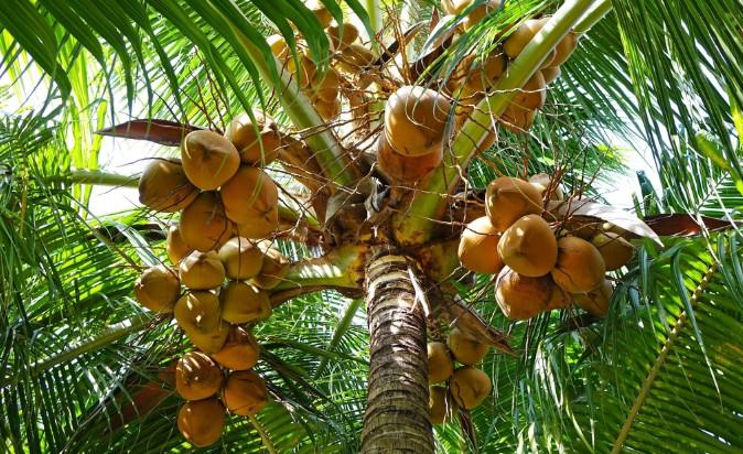 """西米是什么""""米""""?请注意:这不是植物的种子,而是树干的淀粉"""