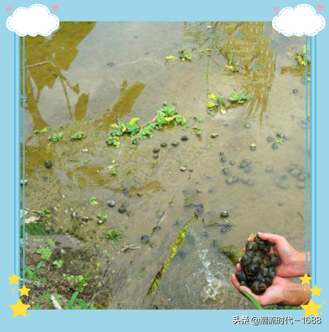 田螺吃什么食物、养殖时需要注意的事项与管理方法有哪些