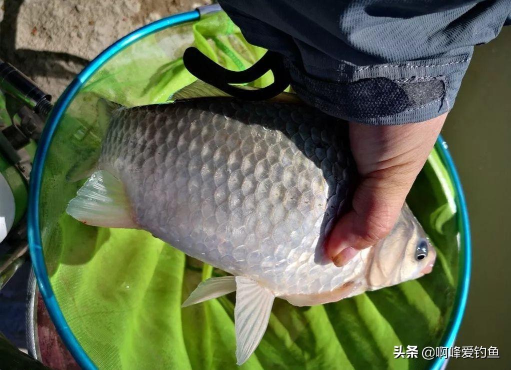 鲫鱼品种很多,不是所有鲫鱼都可以是野生的,你有买错过吗?