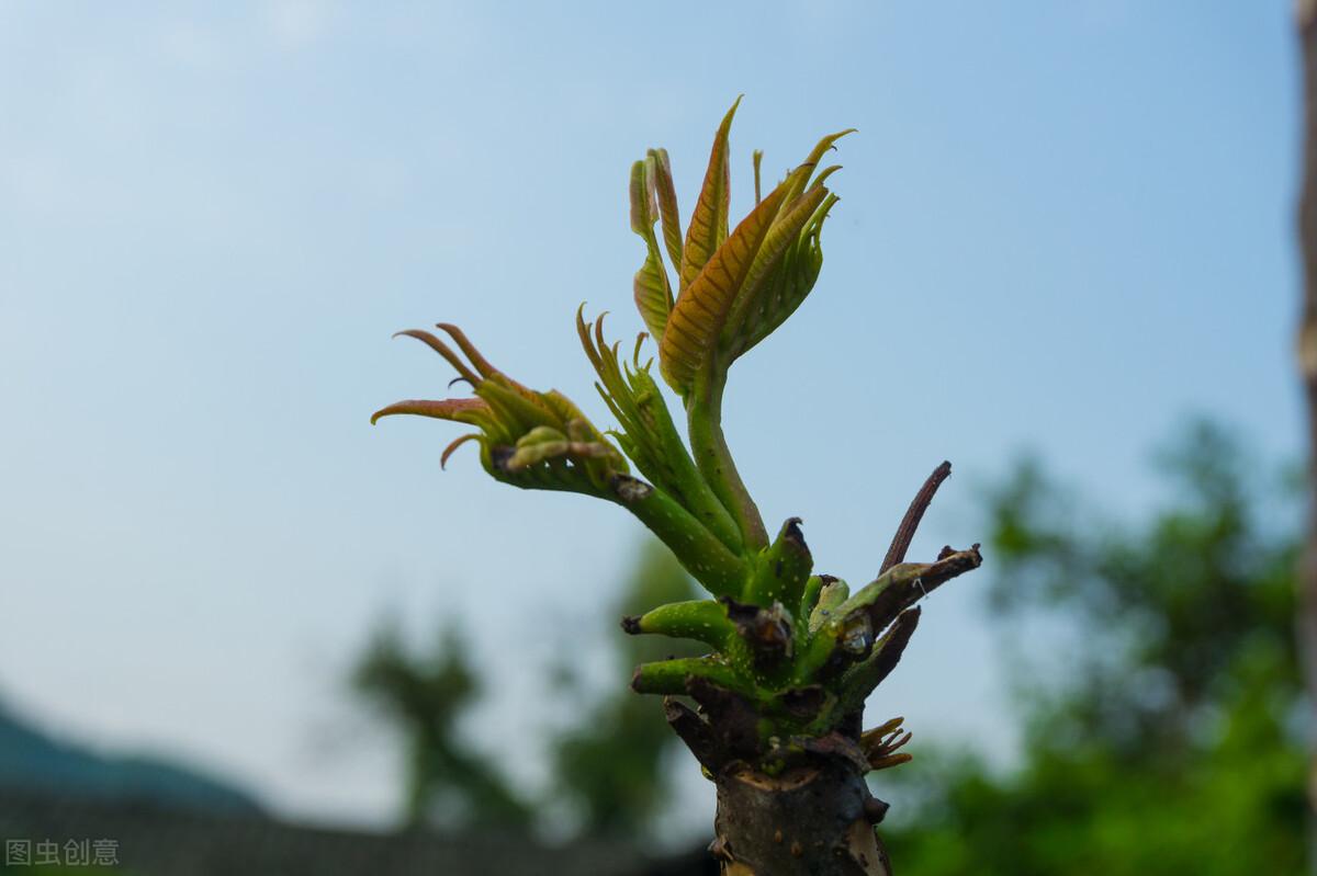 保存香椿芽,直接放冰箱是外行,教你3个小诀窍,香椿芽新鲜好吃