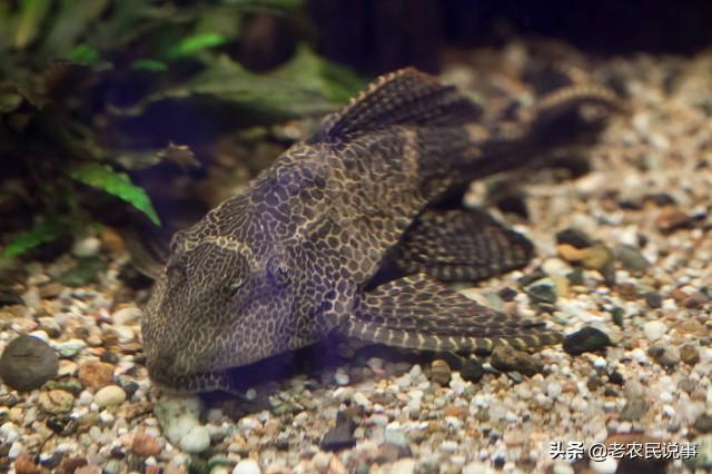 我国三种常见的垃圾鱼,臭水沟能见到,吃粪便能成活,你见过吗?