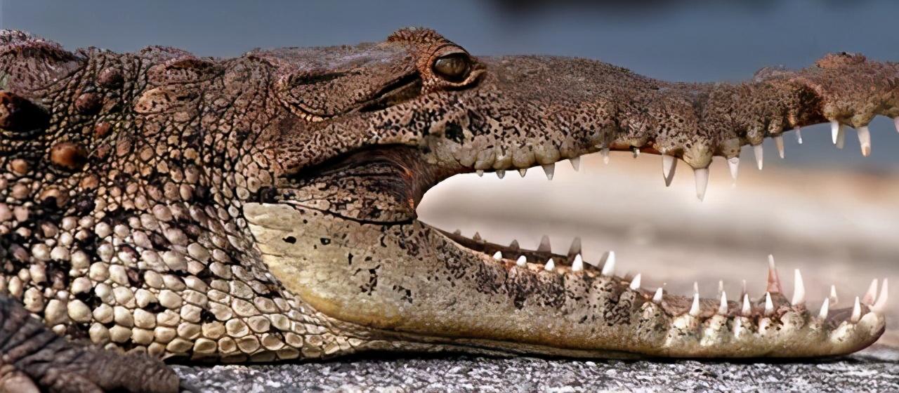 鲨鱼一生可换数万颗牙,鳄鱼可换50次牙,为什么人类只能换一次?